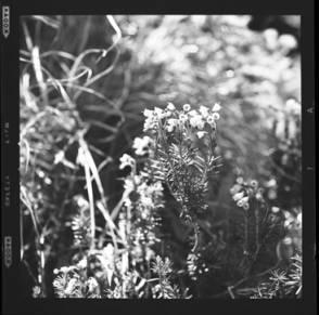 item thumbnail for Freezeout Saddle (Idaho), Unidentified flower, 1960 [1]