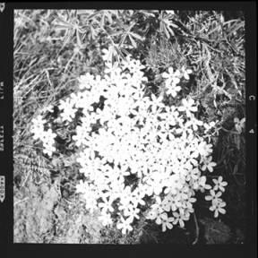 item thumbnail for Whitemargin phlox, 1960 [1]