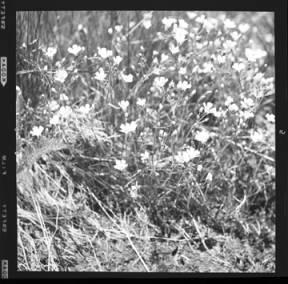item thumbnail for Whitemargin phlox, 1960 [2]