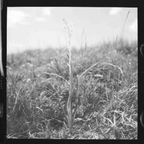 item thumbnail for Freezeout Saddle (Idaho), Smallflower deathcamas, 1960