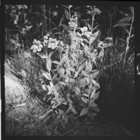 item thumbnail for Freezeout Saddle (Idaho), Purple monkeyflower, 1960 [1]