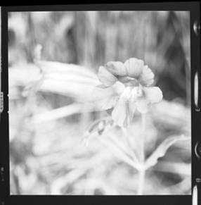 item thumbnail for Freezeout Saddle (Idaho), Purple monkeyflower, 1960 [2]