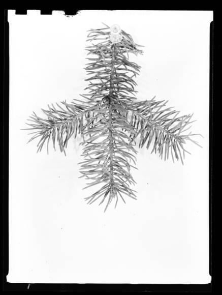 item thumbnail for Pine leaves, 1939 [1]