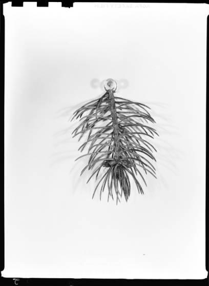 item thumbnail for Pine leaves, 1939 [2]