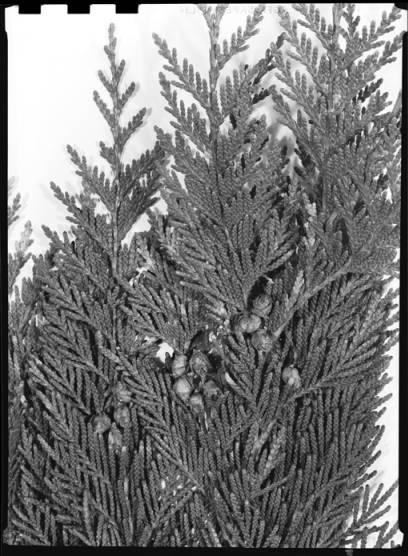 item thumbnail for Pine leaves, 1939 [3]