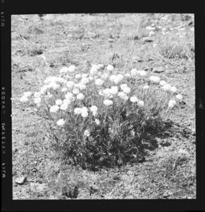 item thumbnail for Unidentified flower, 1959
