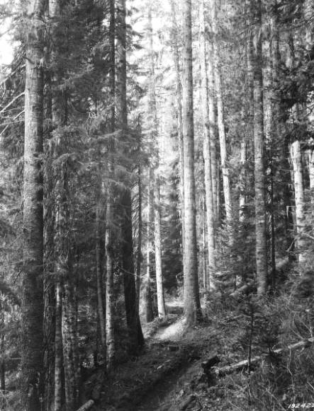 &#34;White pine stand, Burnt Cabin Creek, Coeur d'Alene National Forest.&#34;<br&gt;129